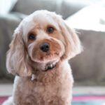 Portrait of a groomed Cavapoo with its head tilted