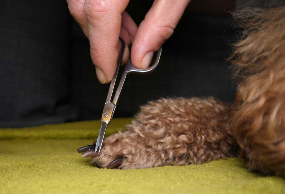 Human hands holding clippers to trim the hair between a poodles toes