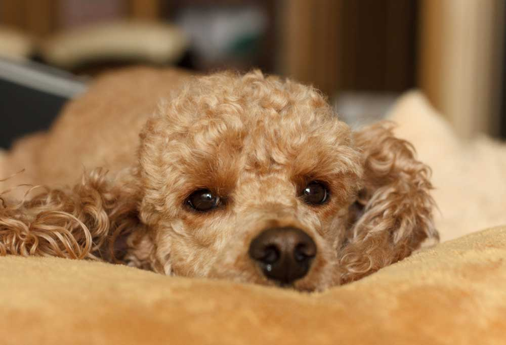 Close up of a sad poodle laying down on a dog bed.