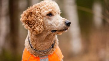 Portrait of a Tan poodle wearing a collar and an orange vest outdoors with blurred natural background.