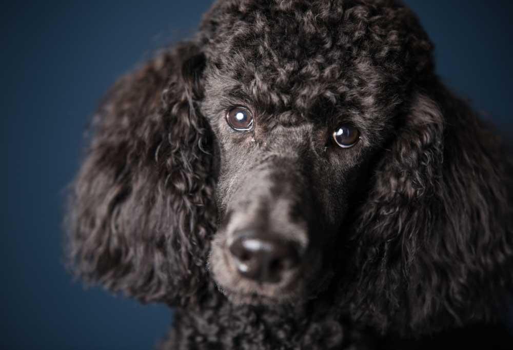 Close up head portrait of a standard black poodle