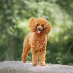 Miniature poodle outdoors on a large rock