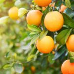close up of oranges on a tree