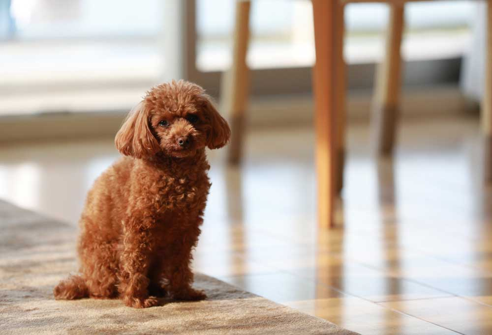 small brown poodle sitting on a rug with tile floors and wooden table legs in the background.
