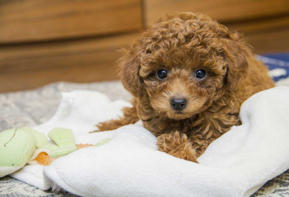 brown poodle puppy laying on a baby blanket