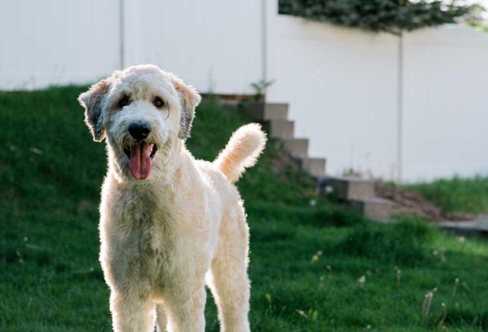 Portrait of a poodle mix outdoors