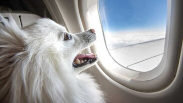 Small white hairy dog looking out of the window of an airplane