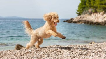 Poodle running and jumping on a pebble beach.