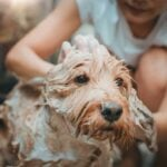 Soapy tan poodle getting a bath