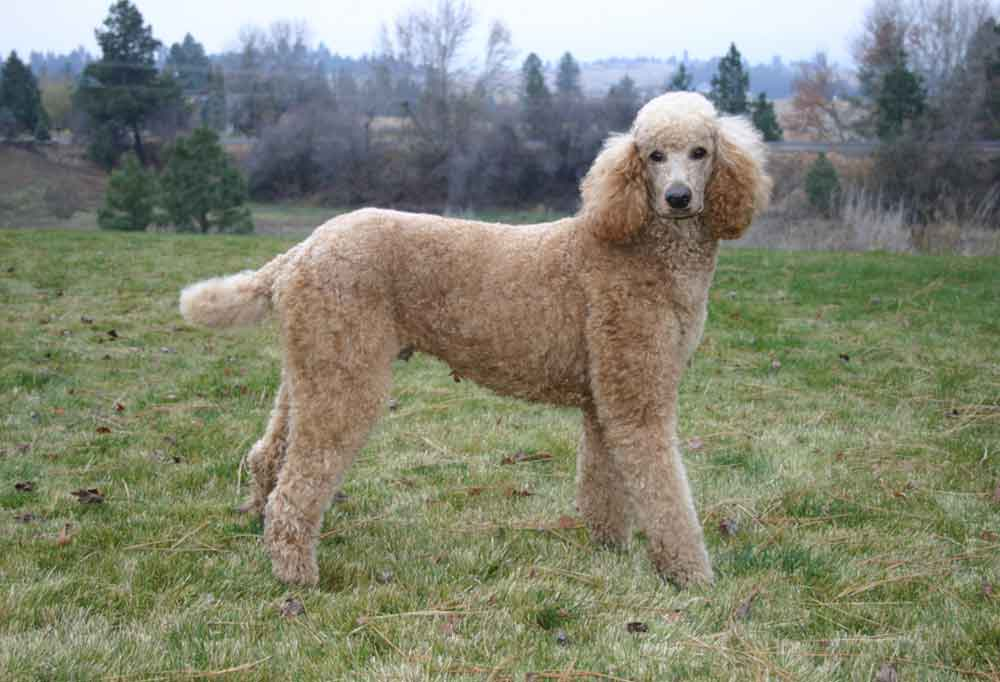 Standard tan poodle standing on grassy hill
