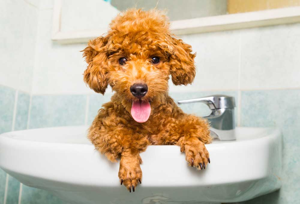 Small brown poodle in a bathroom sink