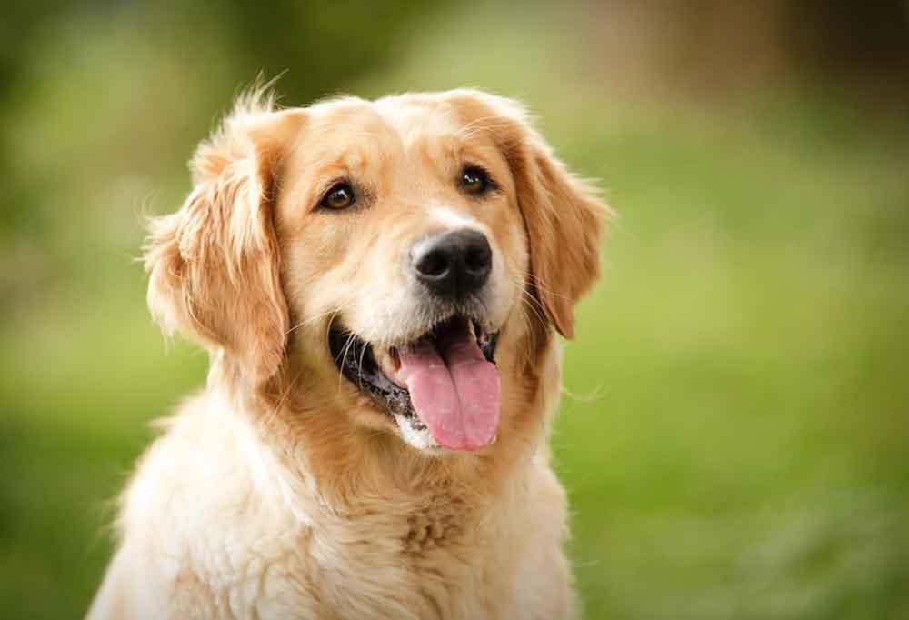 Close up portrait of a Golden Retriever outdoors.