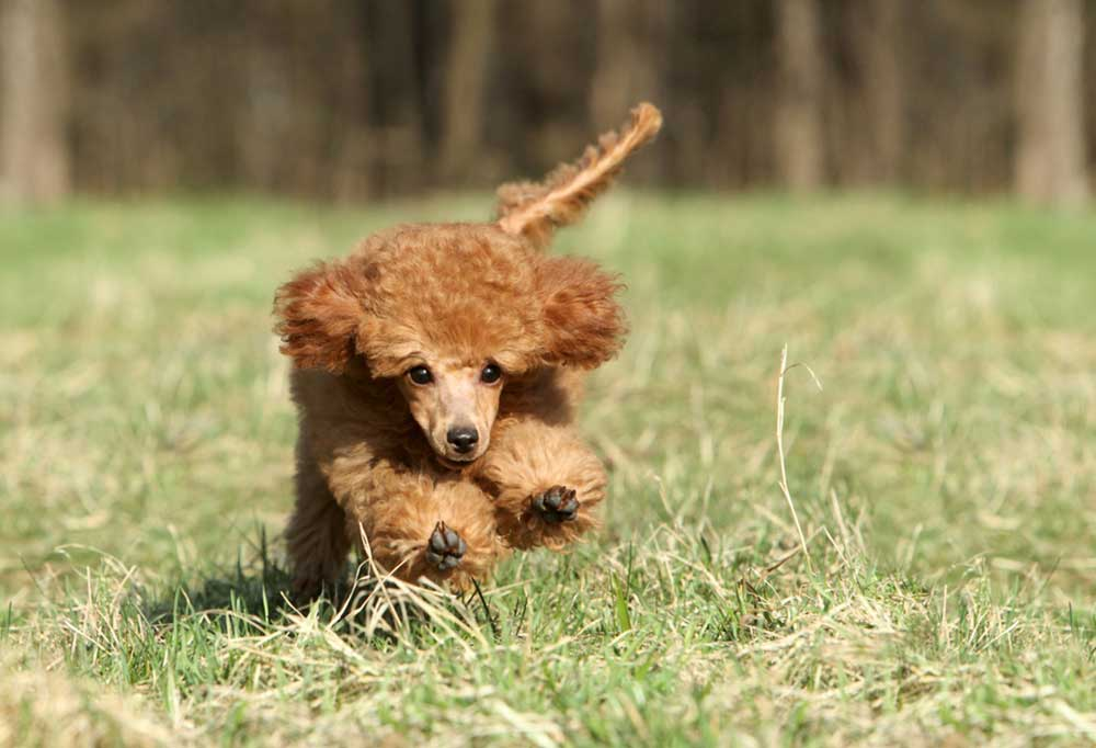 Brown miniature poodle running in a grass field.