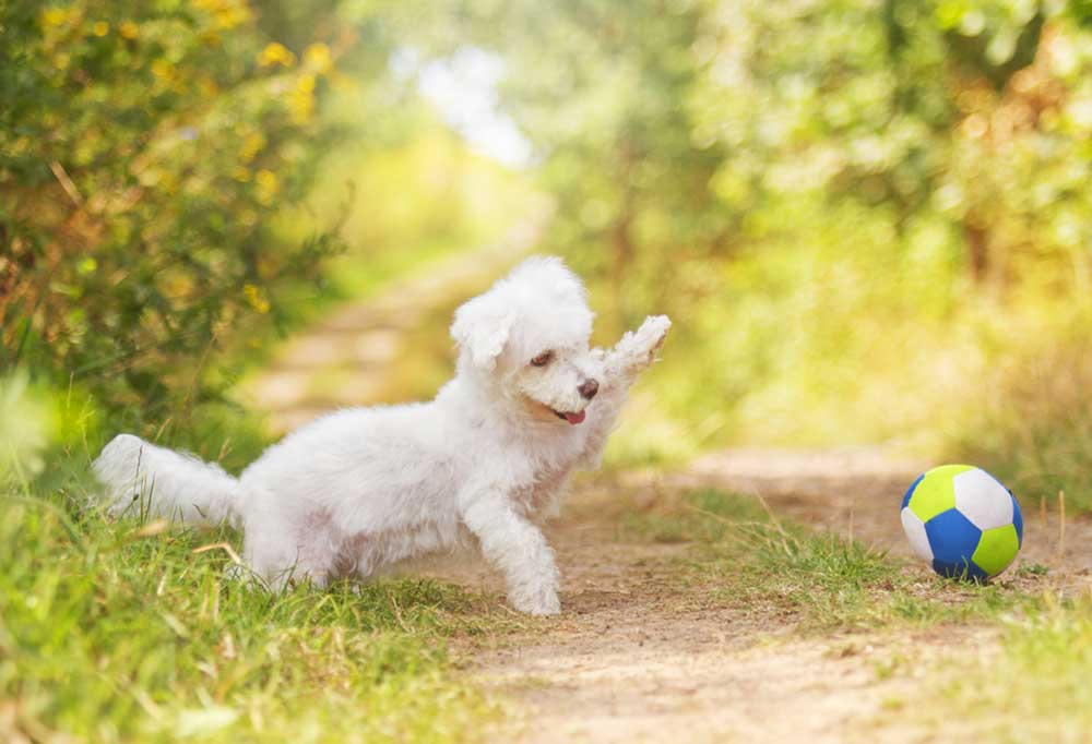 White poodle puppy pawing at a small ball on a dirt road.