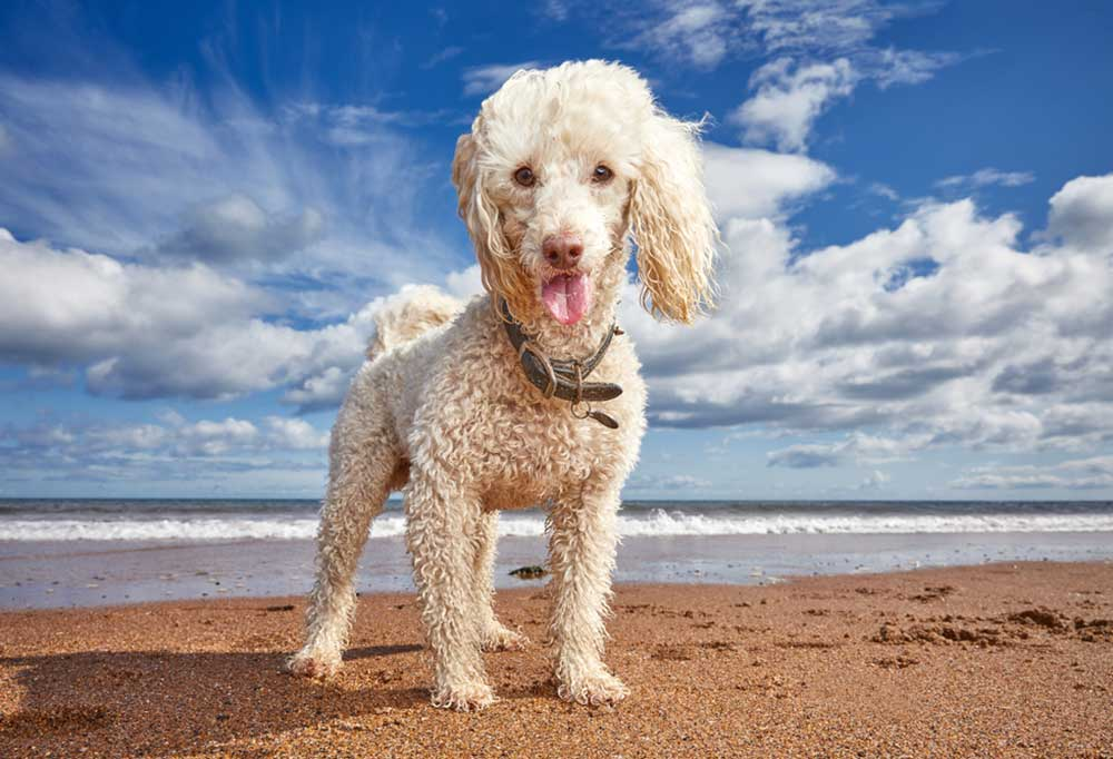 Wet poodle standing on a sandy beach