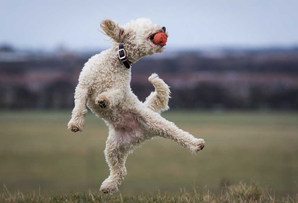 White poodle jumping up into the air to catch an orange ball.