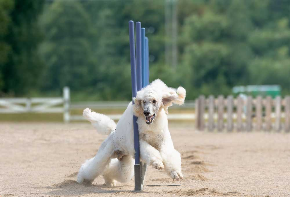 Poodle running an agility course