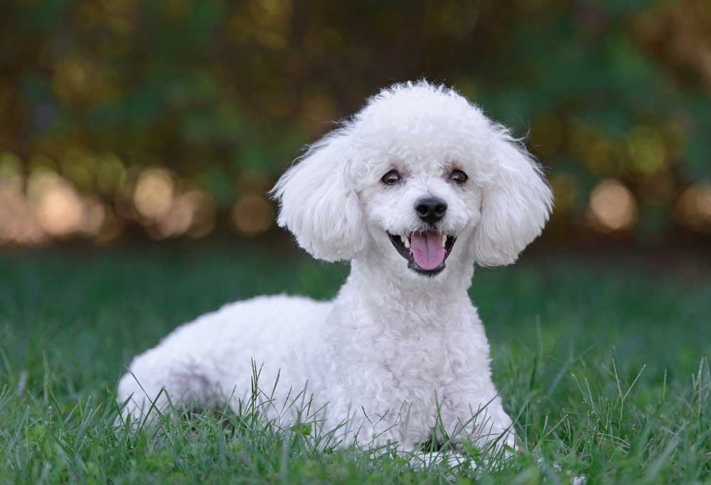 Portrait of a small white poodle puppy laying in grass