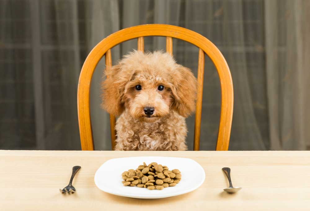 Poodle sitting on a chair at the dinner table with dog food on a plate with fork and spoon on the table.