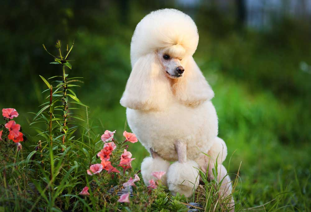 White poodle standing with front paws on a raised mound with petunia like flowers from on it.