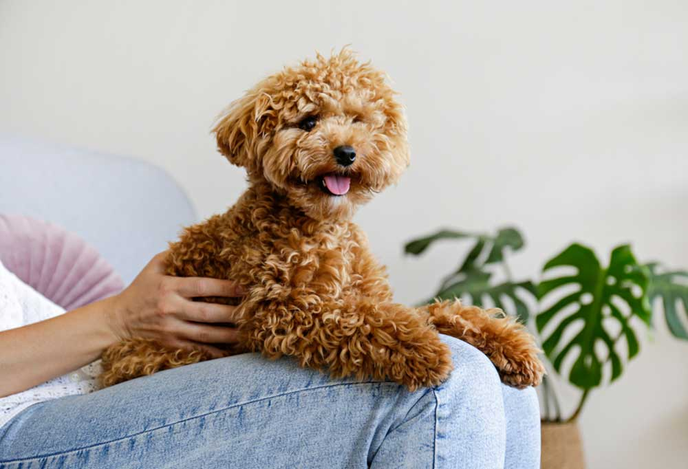 small brown poodle sitting on jean covered legs in a living room setting