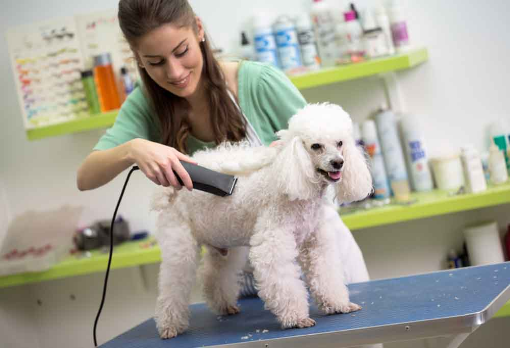 Woman shaving the torso of a white poodle