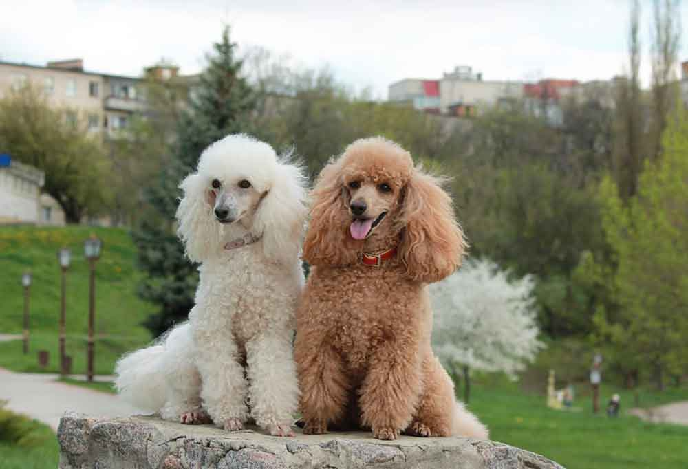 a white poodle and a brown poodle sitting side by side on a larger stone outdoors with buildings in the background.