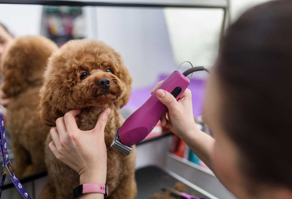 Poodle puppy sitting in front of a mirror having its hair trimmed with pink clippers.