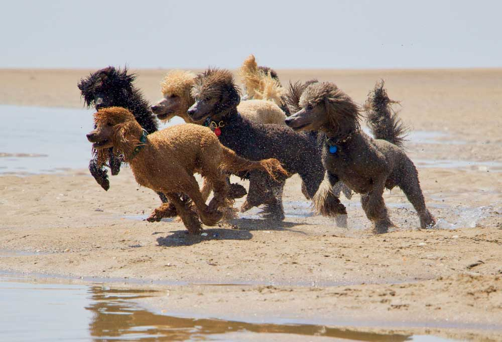 a pack of poodles running on a beach.