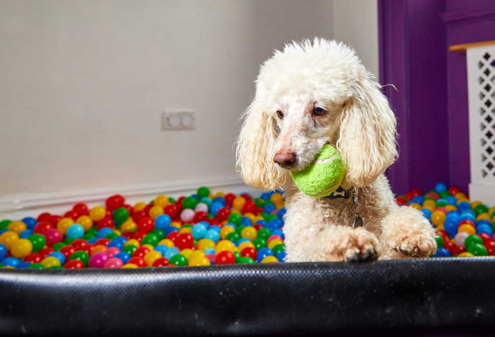 Poodle with a green ball in its mouth standing in a ball pit