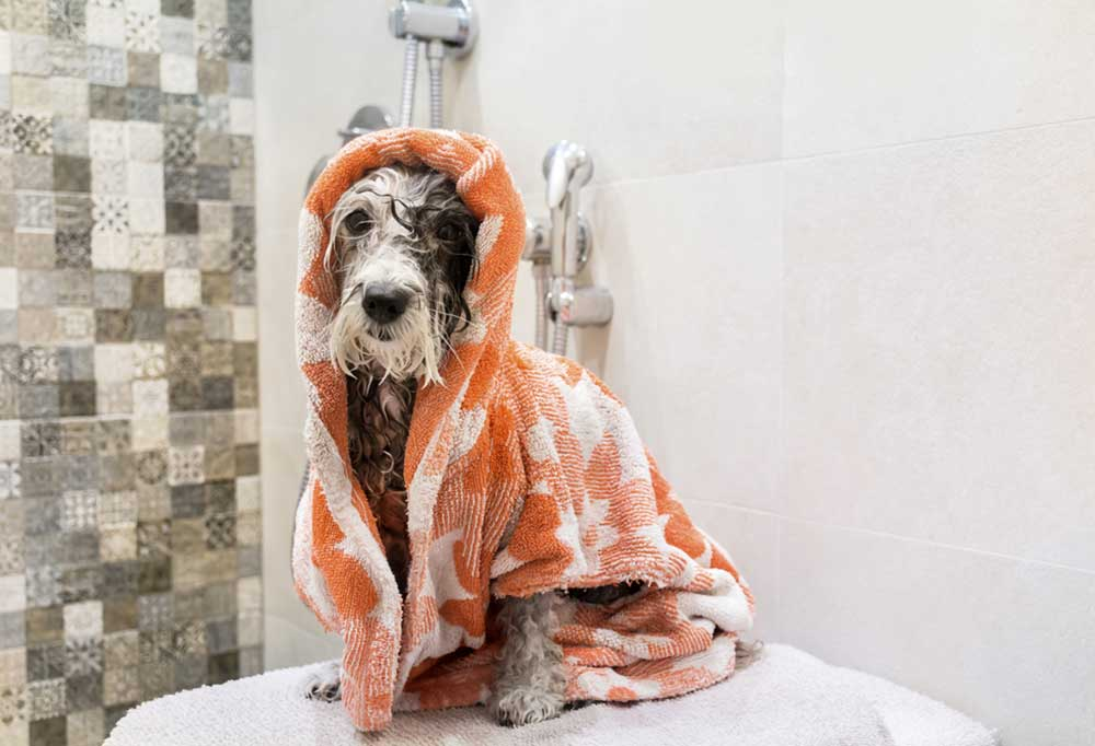 Wet poodle wrapped in an orange and white towel and  sitting on wet towels in a shower.