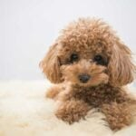 Brown toy poodle laying on fur rug with a grey background.