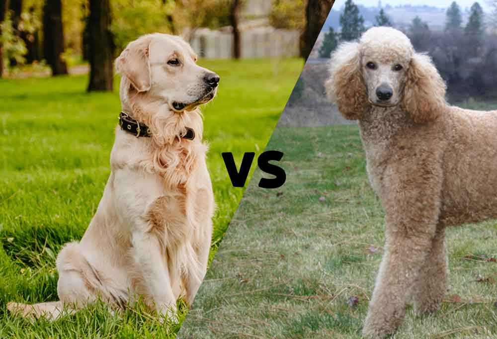 Diagonally divided picture with a golden retriever on the left and a poodle on the right with the word versus in the center
