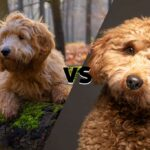Diagonally divided picture with a Goldendoodle on the left and a Cavapoo on the right with versus in the middle