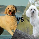 Diagonally divided picture with a Goldendoodle on the left and a Poodle on the right with the word versus in the middle.