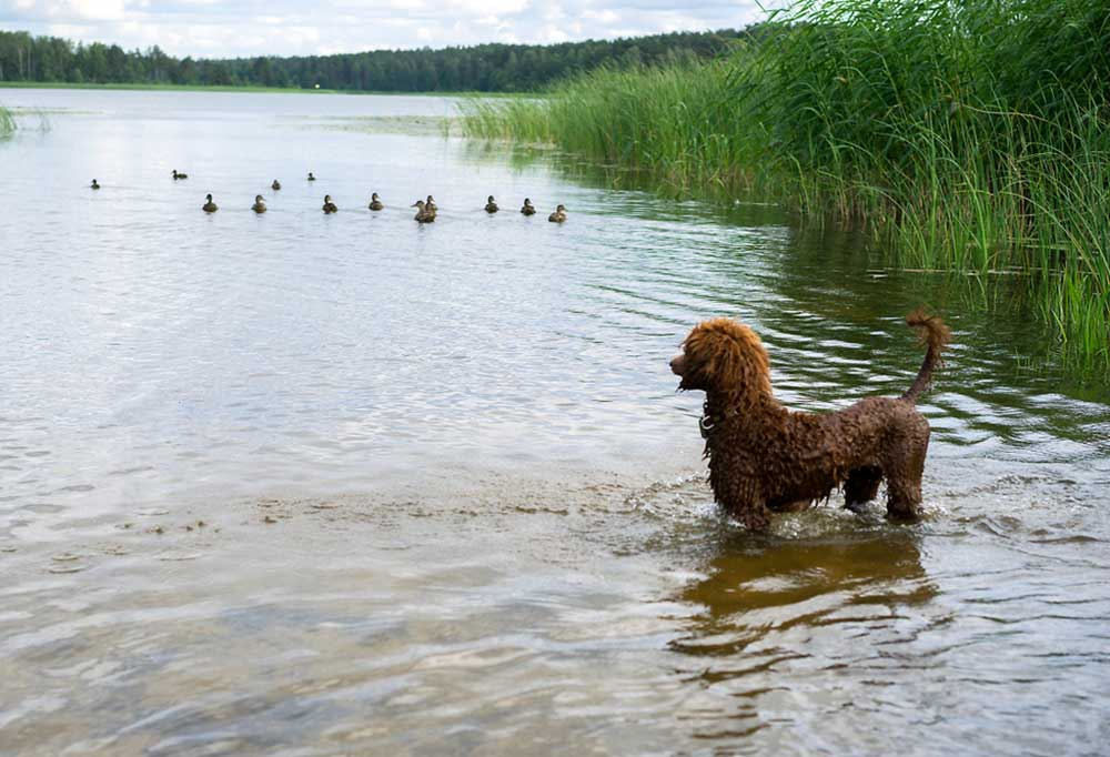 Dark brown poodle standing in shallow water at a lakes edge with ducks a small distance away in the water.