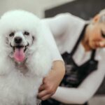 White poodle being styled and groomed by a woman in the background.