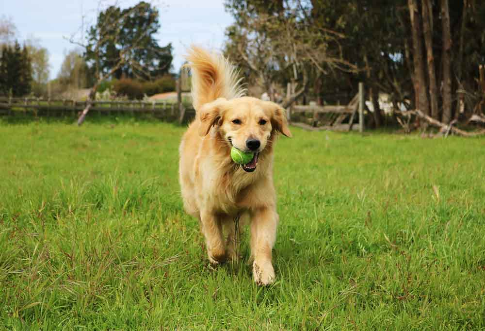 Golden retriever with a yellow ball in its mouth running towards the camera outdoors in a grass covered field.