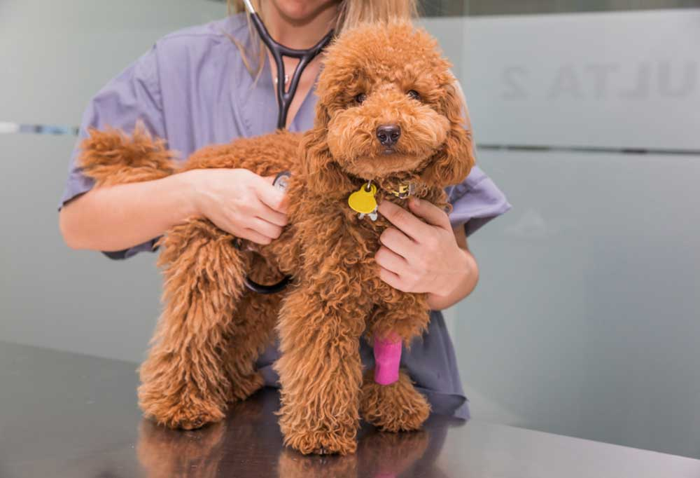 Brown poodle being examined by a vet