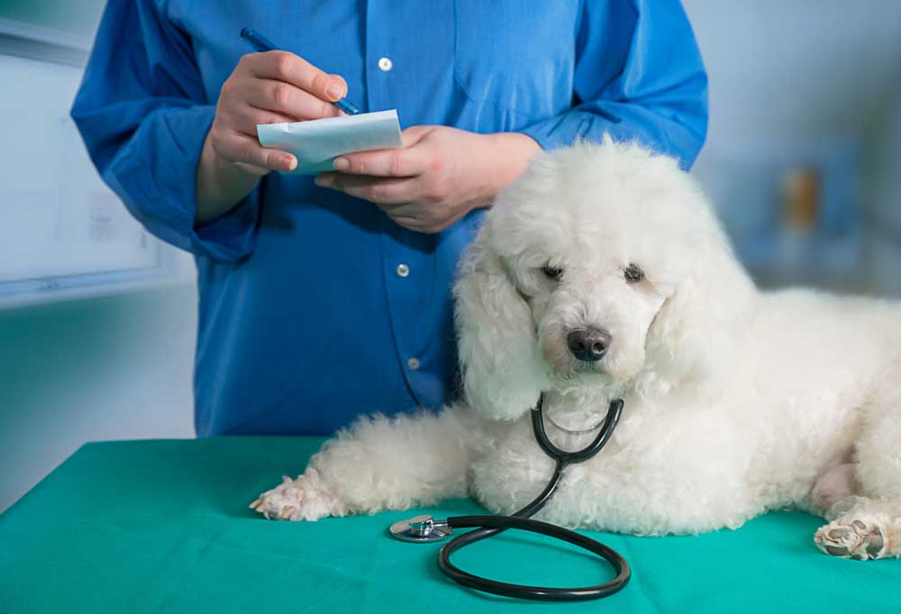 White poodle wearing a stethoscope in a vets office with vet writing on notepad in background.