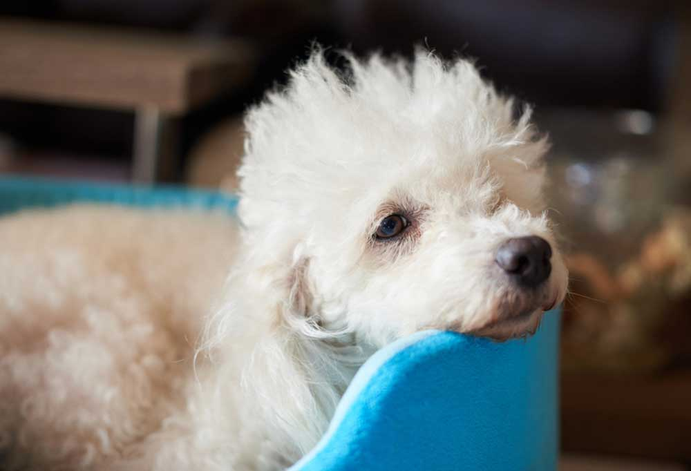small white poodle laying in a blue dog bed with its head resting on the side.
