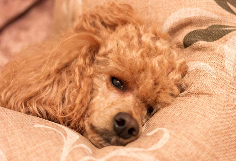 Poodle looking ill and laying on its side on a pillow
