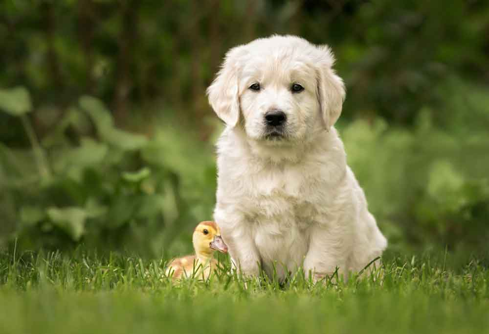 Golden retriever puppy with a baby duck sitting in grass outdoors