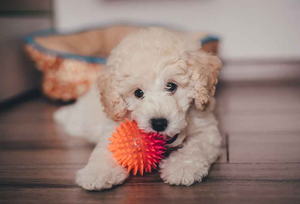 Poodle puppy with an orange spiky ball laying on hardwood floors with a dog bed in the background