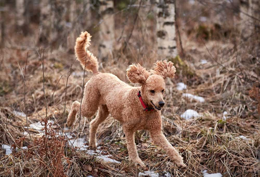 Poodle running down ice covered trail in the woods
