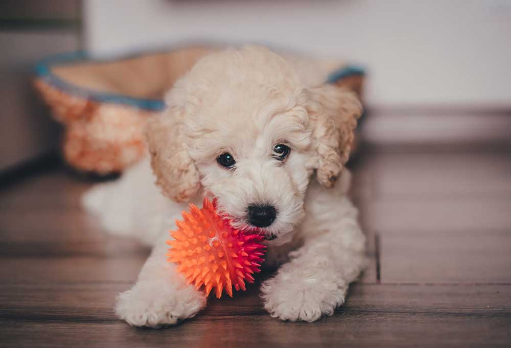white poodle puppy with an orange spiky ball in its mouth