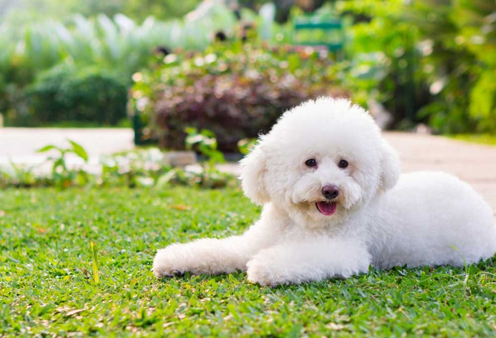 Fluffy white poodle laying on short green grass
