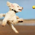 Poodle jumping in the air to catch a yellow ball