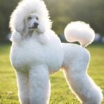 Fluffy poodle standing outdoors in the grass