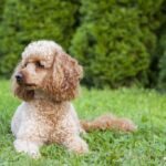 Shaggy poodle laying in a field of grass and weeds